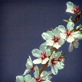 a almond blossoms 5474 for web